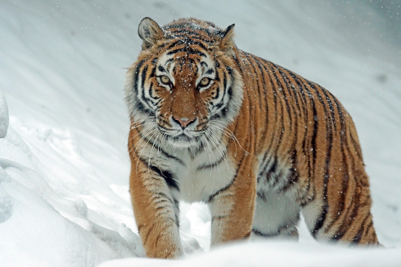angry-animal-big-carnivore-302304